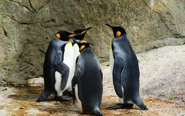 Animal Penguin Birds Penguins King Penguin HD Wallpaper | Background Image