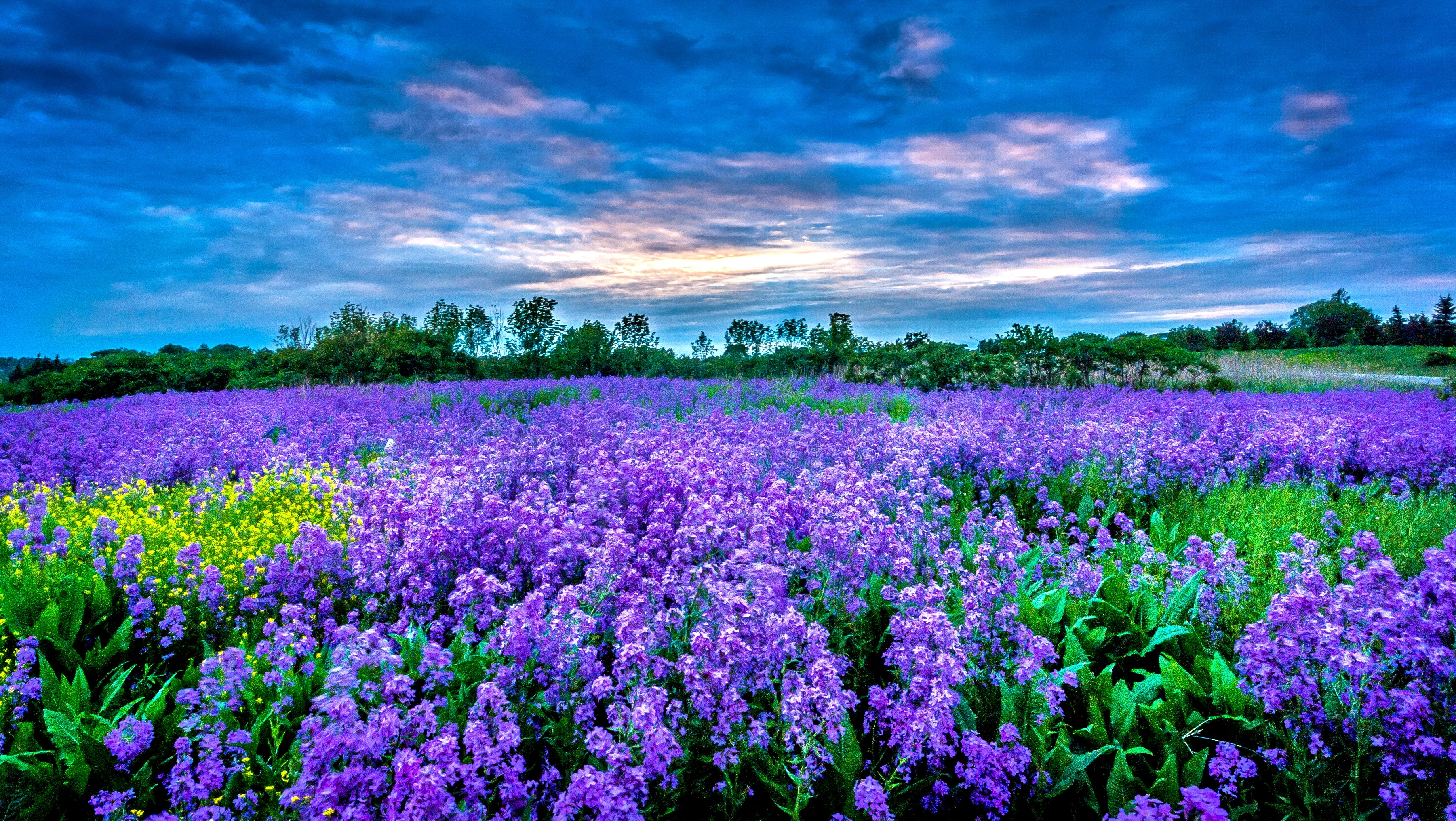 purple flower field hd wallpaper | background image | 3603x2032 | id