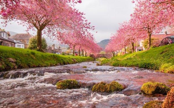Construction Humaine Village Terre Nature Sakura Cherry Blossom Rivière Rose Fond d'écran HD | Image