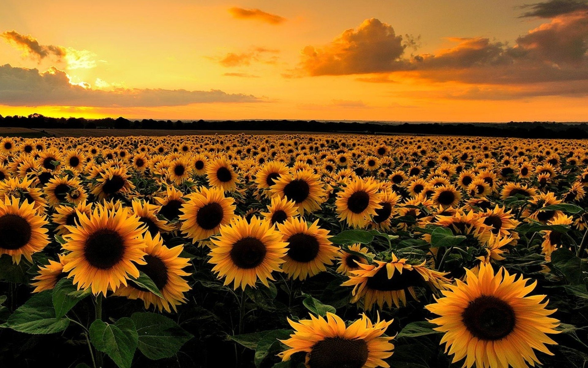 Field Of Sunflowers Wallpaper: Sunflower Field At Sunset HD Wallpaper