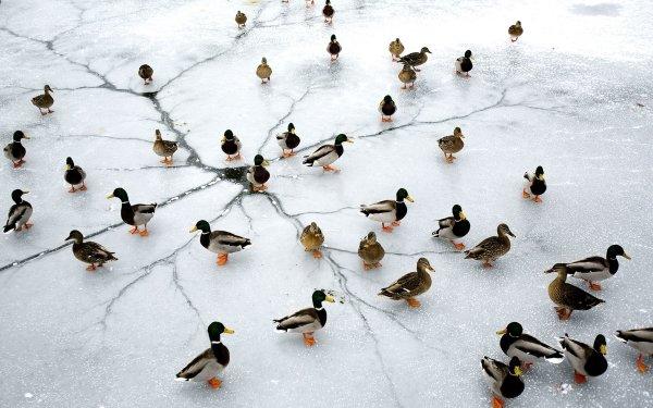 Animal Mallard Birds Ducks Duck Bird HD Wallpaper   Background Image