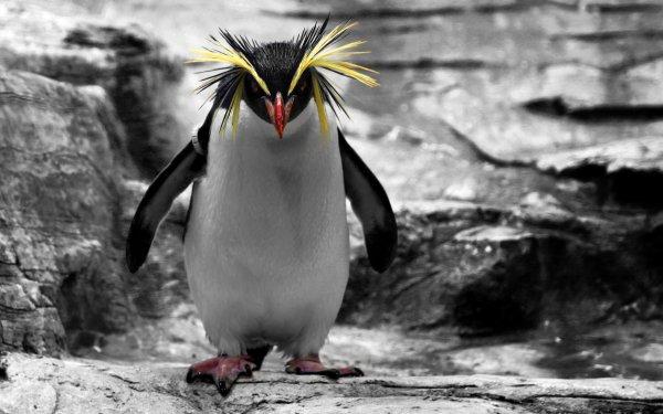 Animal Penguin Birds Penguins Rockhopper Penguin HD Wallpaper | Background Image