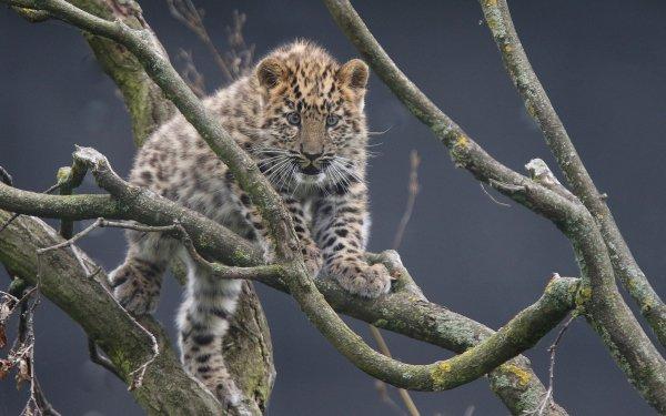 Animal Leopard Cats Amur Leopard Branch HD Wallpaper | Background Image