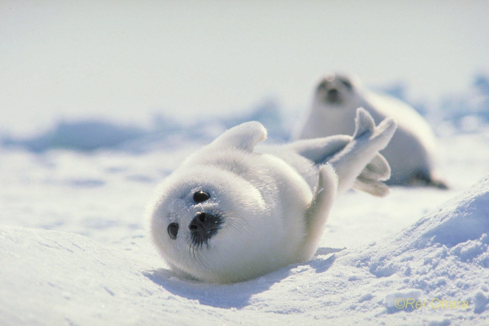 Cute Baby Seals 9361 Hd Wallpapers: Japan, Hokkaido Harp Seal Wallpaper And Background Image