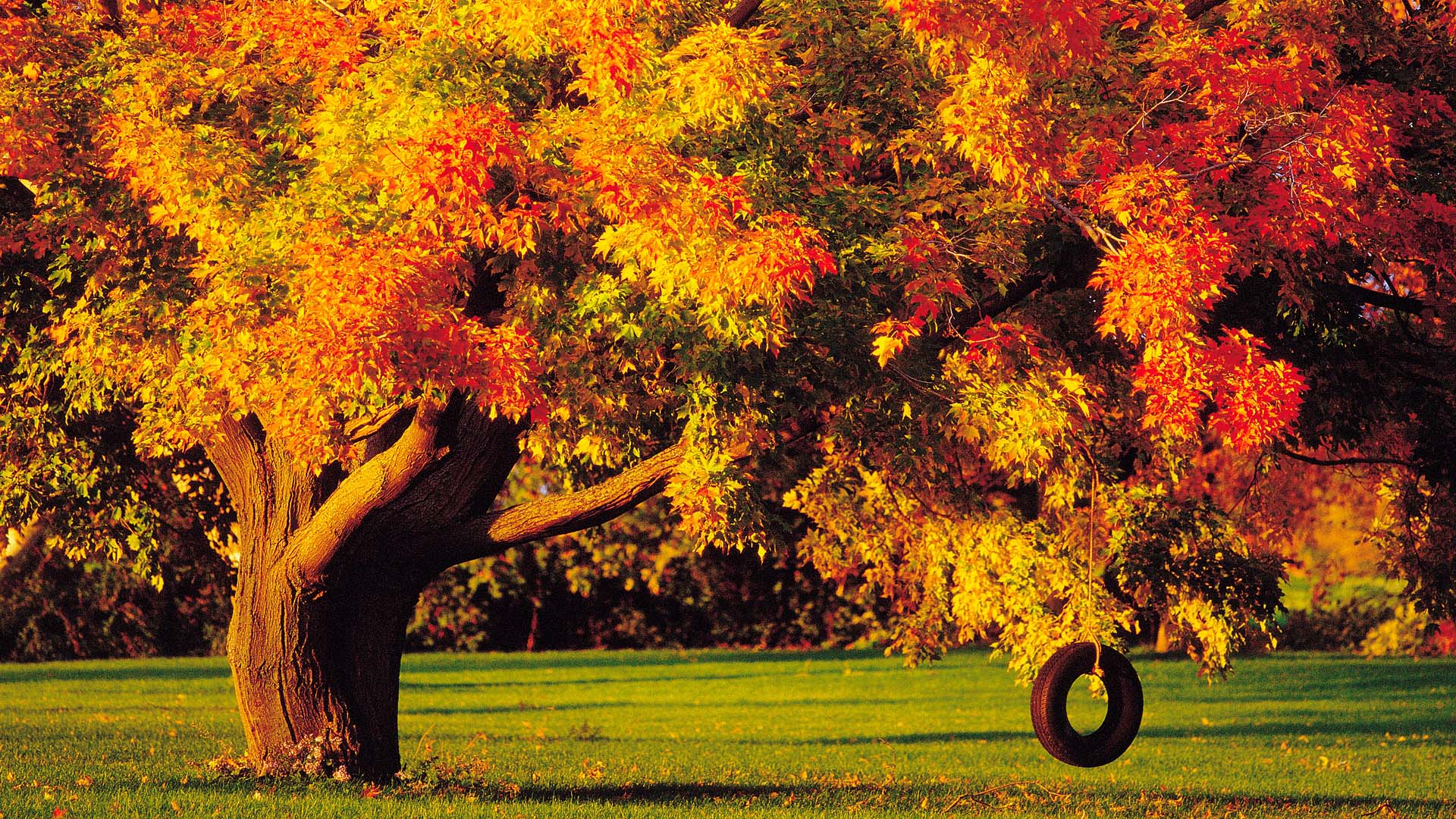 autumn tree with tire swing full hd wallpaper and background image