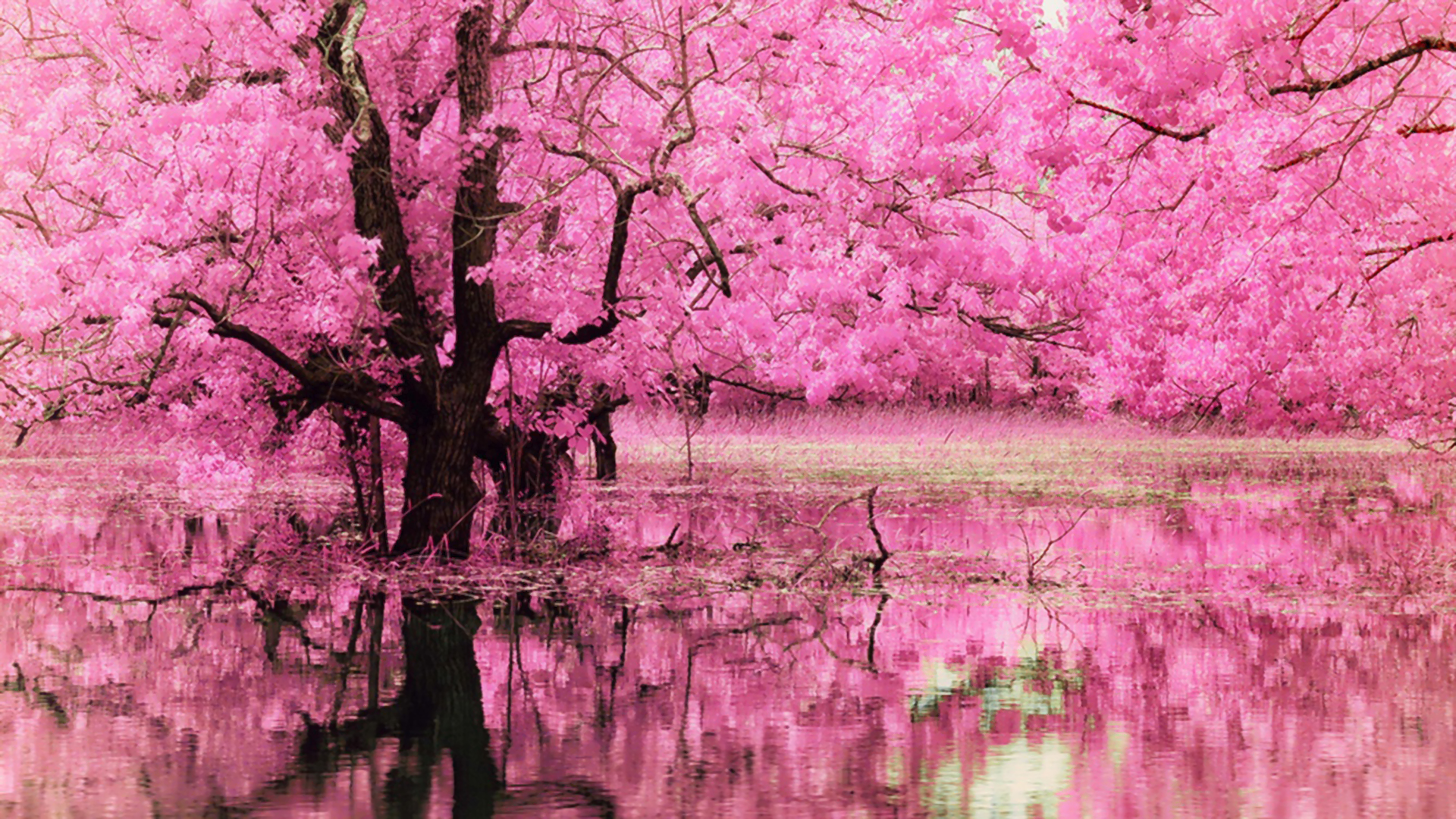 Super Pink Blossom Reflection Full HD Sfondo and Sfondi | 1920x1080 | ID  IK88