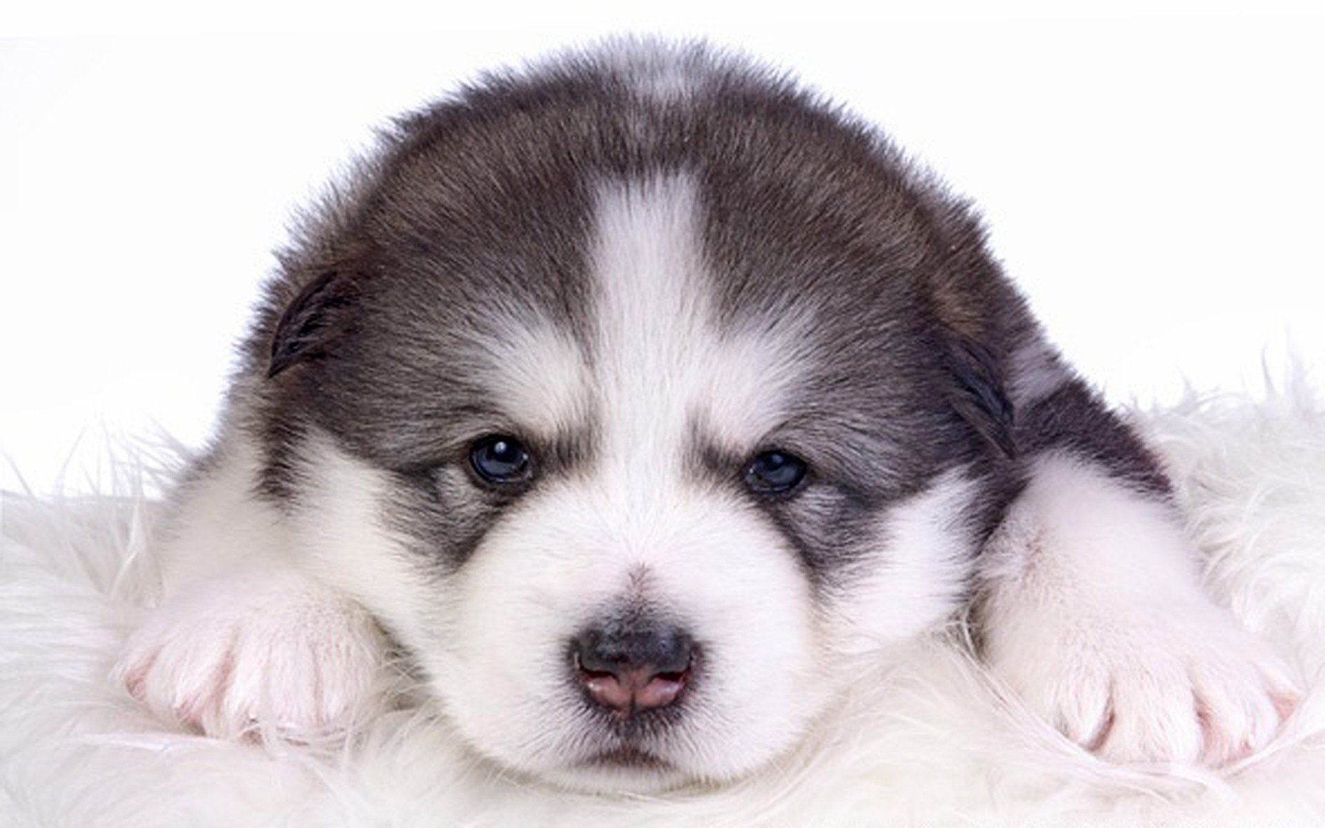 Alaskan Malamute Young Puppy HD Wallpaper | Background ... | 1920 x 1200 jpeg 224kB