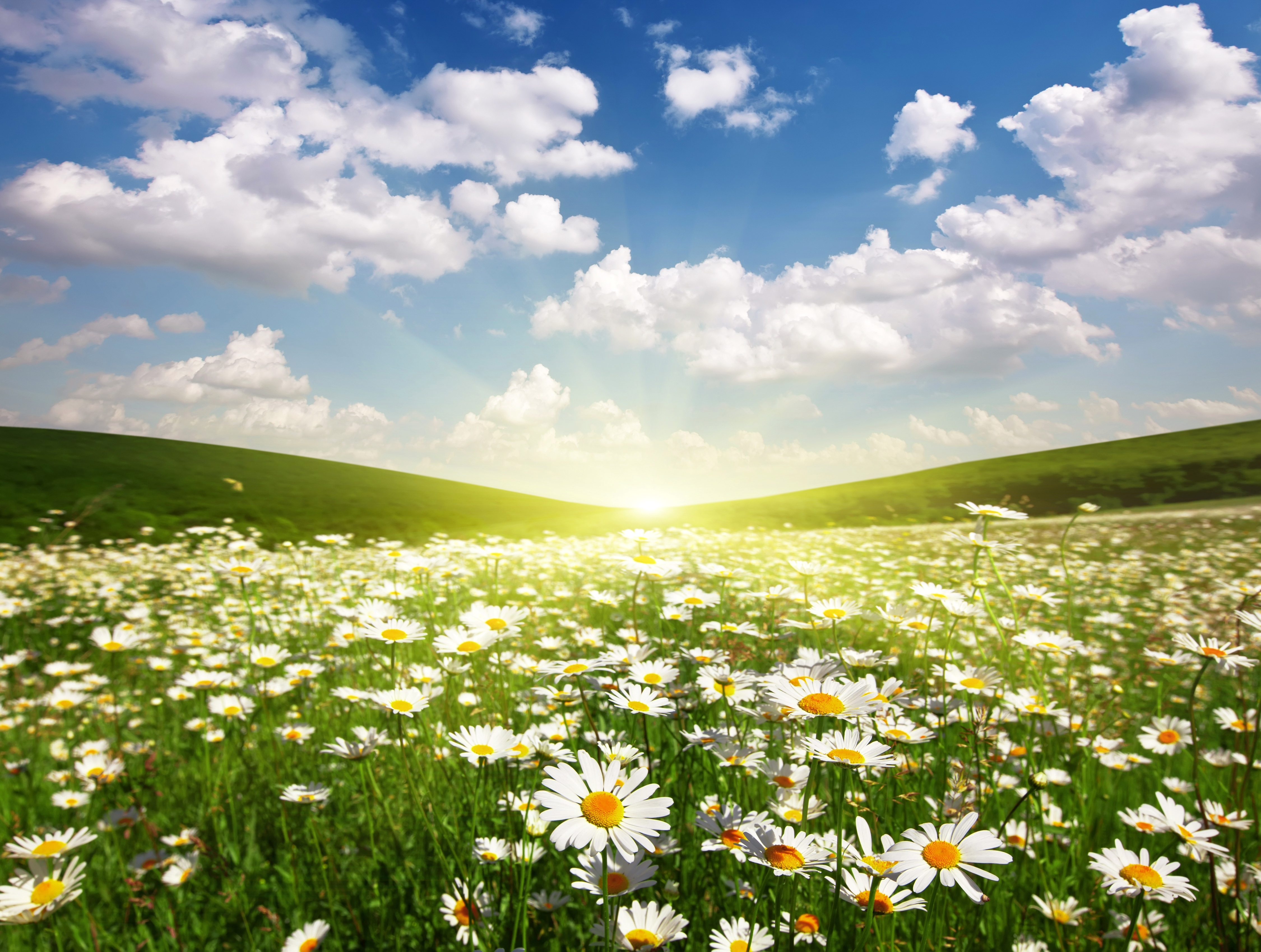 Sunrise over Field of Daisies 4k Ultra HD Wallpaper and ... Field Of Daisies