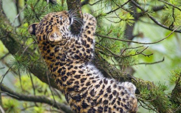 Animal Leopard Cats Big Cat Baby Animal Amur Leopard Cub HD Wallpaper | Background Image