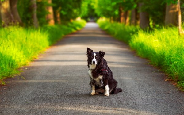 Animal Border Collie Dogs Australian Shepherd Dog Road Bokeh HD Wallpaper   Background Image