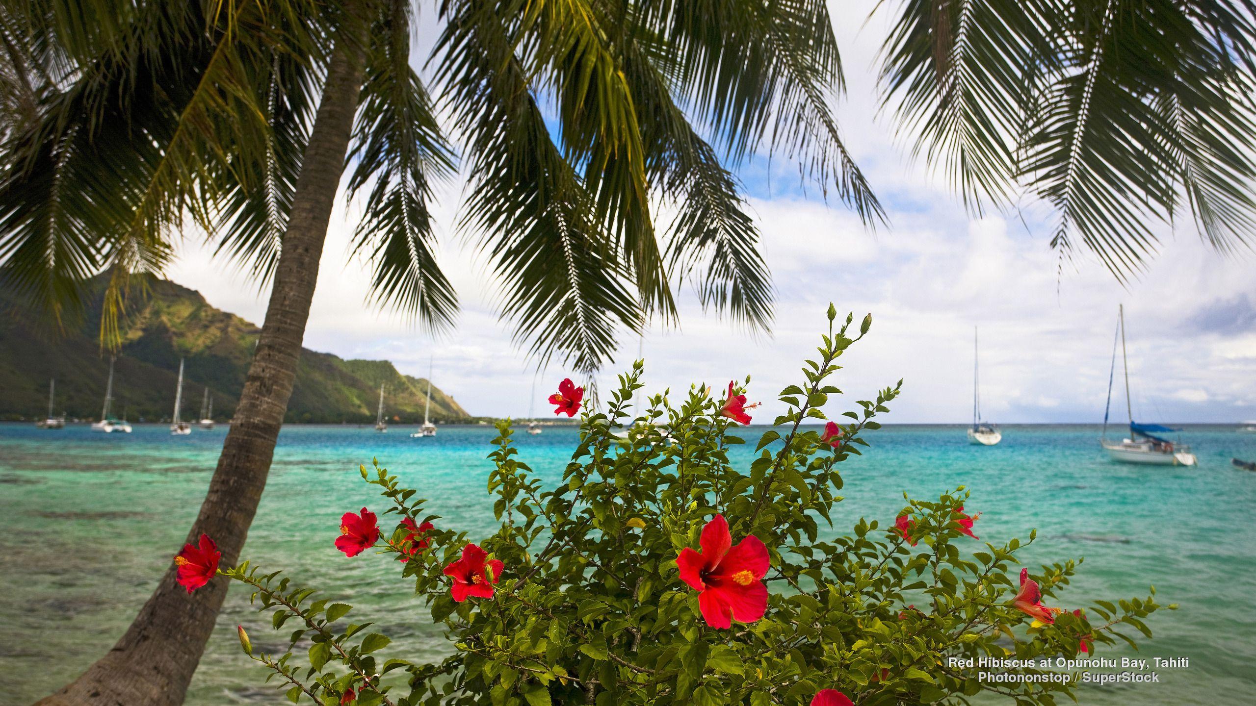 Red hibiscus at opunohu bay tahiti hd wallpaper background image 2560x1440 id 686440 - Free palm tree screensavers ...