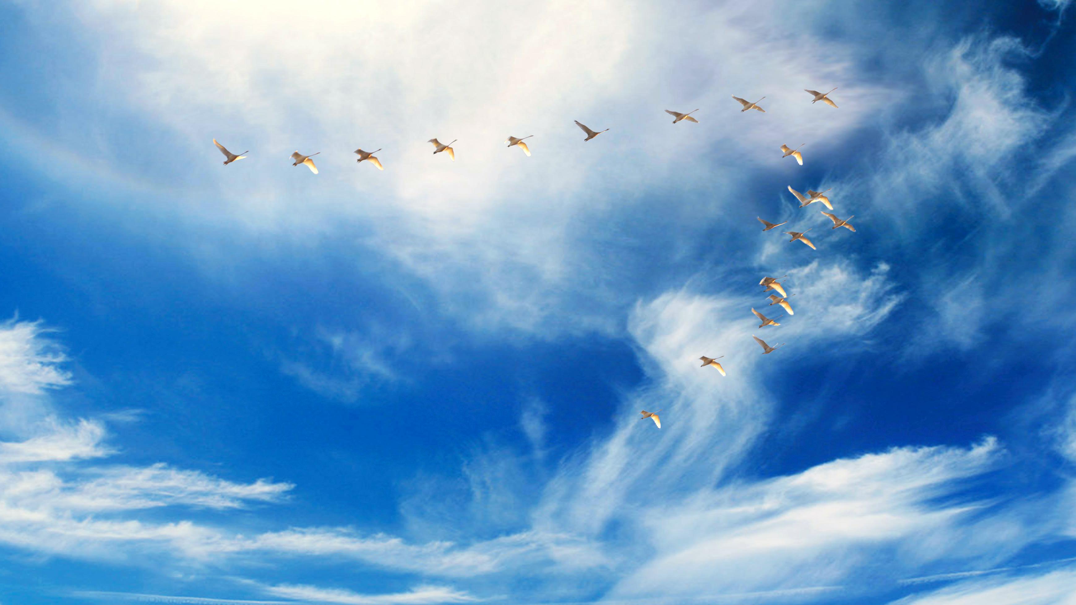 Wallpapers Hd Flying Birds Apple Animals Blue Sky Desktop: Birds Flying In Formation HD Wallpaper