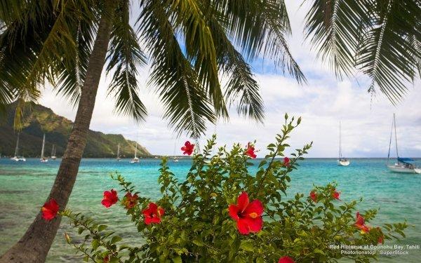 Photography Tropical Hibiscus Opunohu Bay Tahiti Flower Palm Tree HD Wallpaper   Background Image