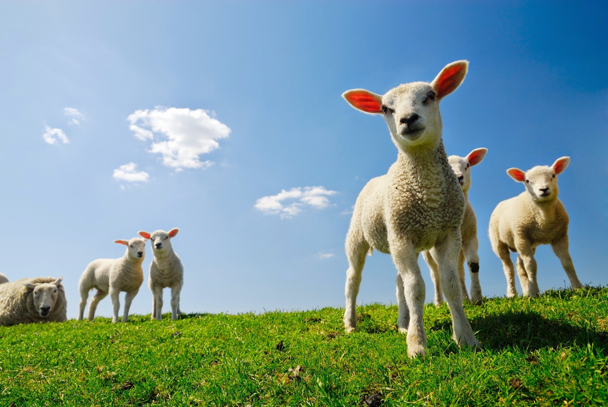 86 sheep hd wallpapers backgrounds wallpaper abyss