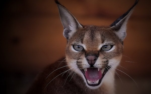 Animal Caracal Cats HD Wallpaper   Background Image