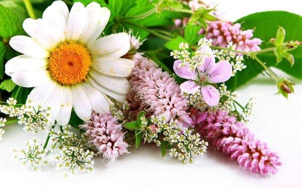 Terre/Nature Fleur Fleurs Gerbera Printemps Close-Up White Flower Pink Flower Fond d'écran HD | Image