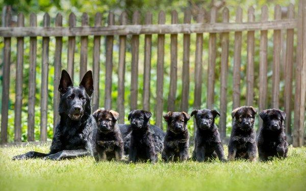 Animales Pastor alemán Perros Perro Cachorro Hierba Cerca Baby Animal Fondo de pantalla HD | Fondo de Escritorio