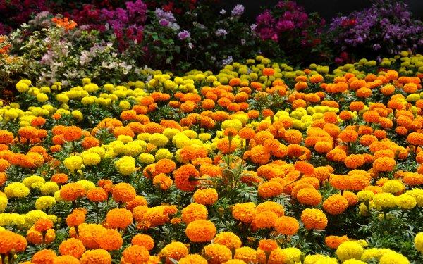 Man Made Garden Flower Colors Colorful Yellow Flower Orange Flower HD Wallpaper | Background Image