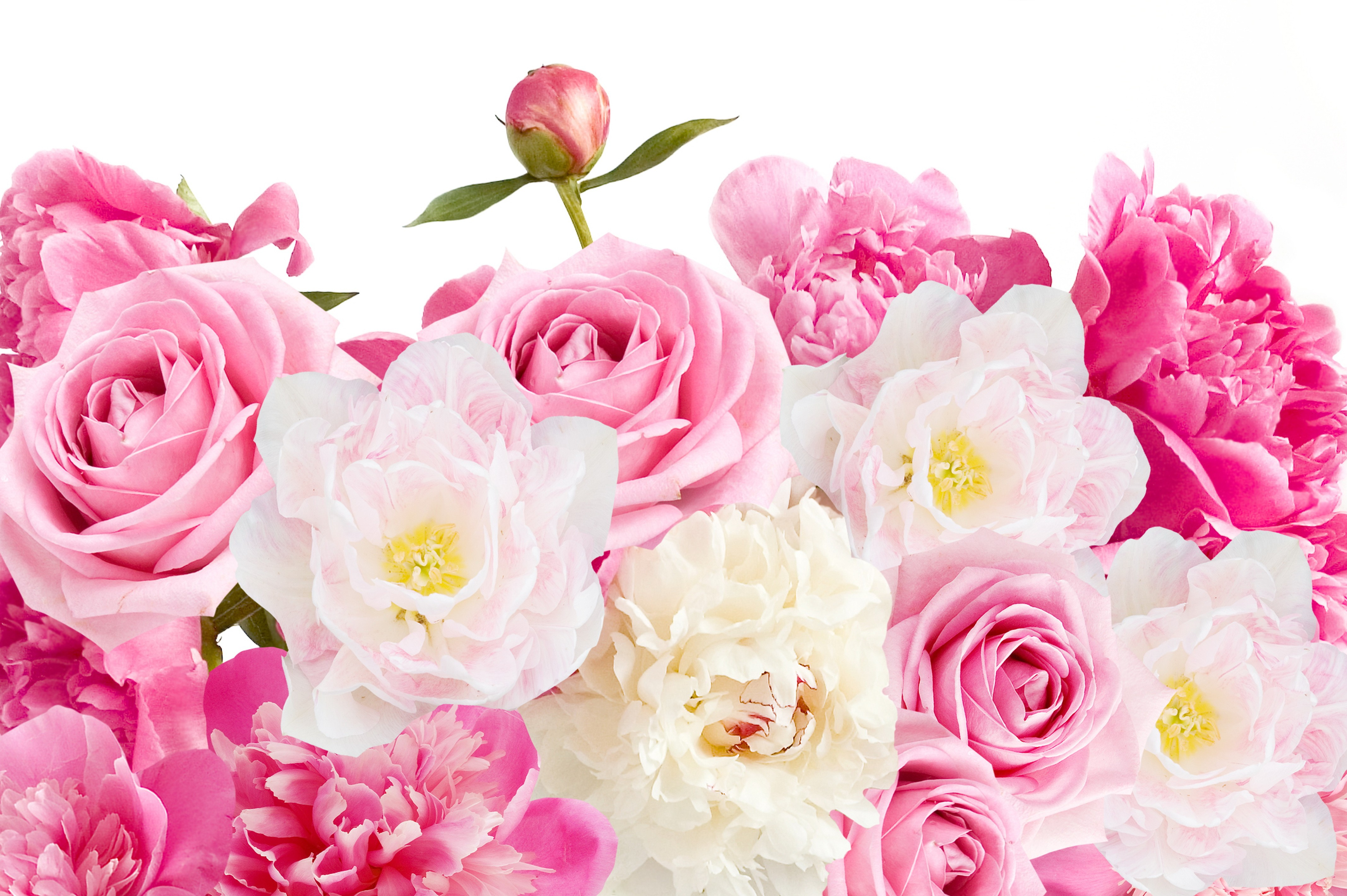 earth flower earth rose peony pink flower wallpaper