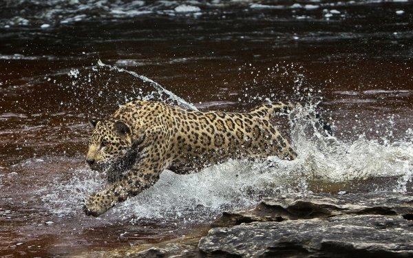 Animal Jaguar Cats Big Cat Water predator Wildlife HD Wallpaper | Background Image