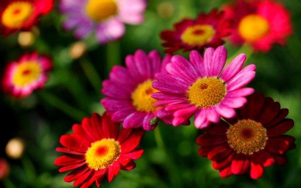 Terre/Nature Daisy Fleurs Fleur Gerbera Pink Flower Red Flower Fond d'écran HD | Image