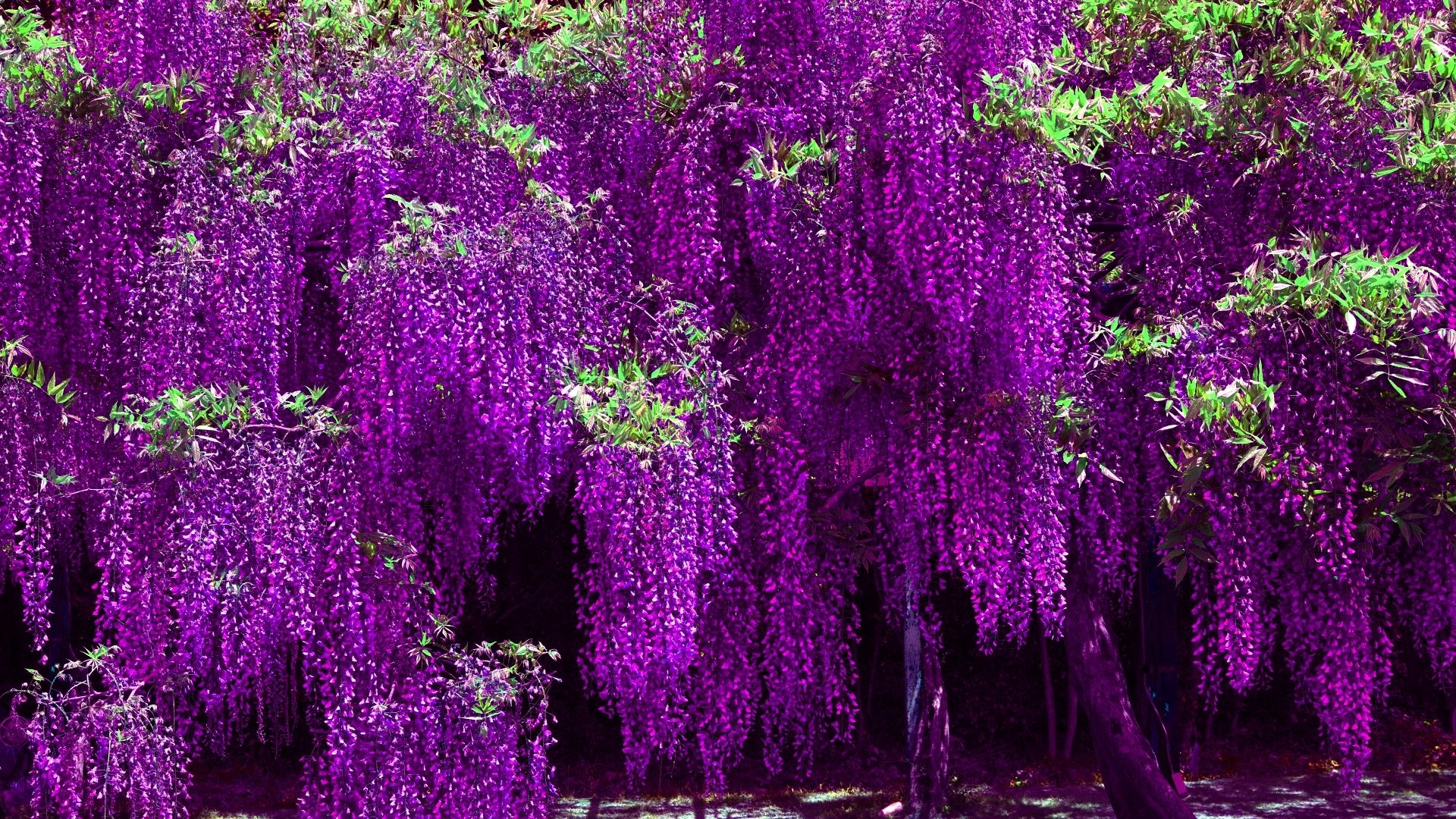 Purple Wisteria Tree Full Hd Wallpaper And Background