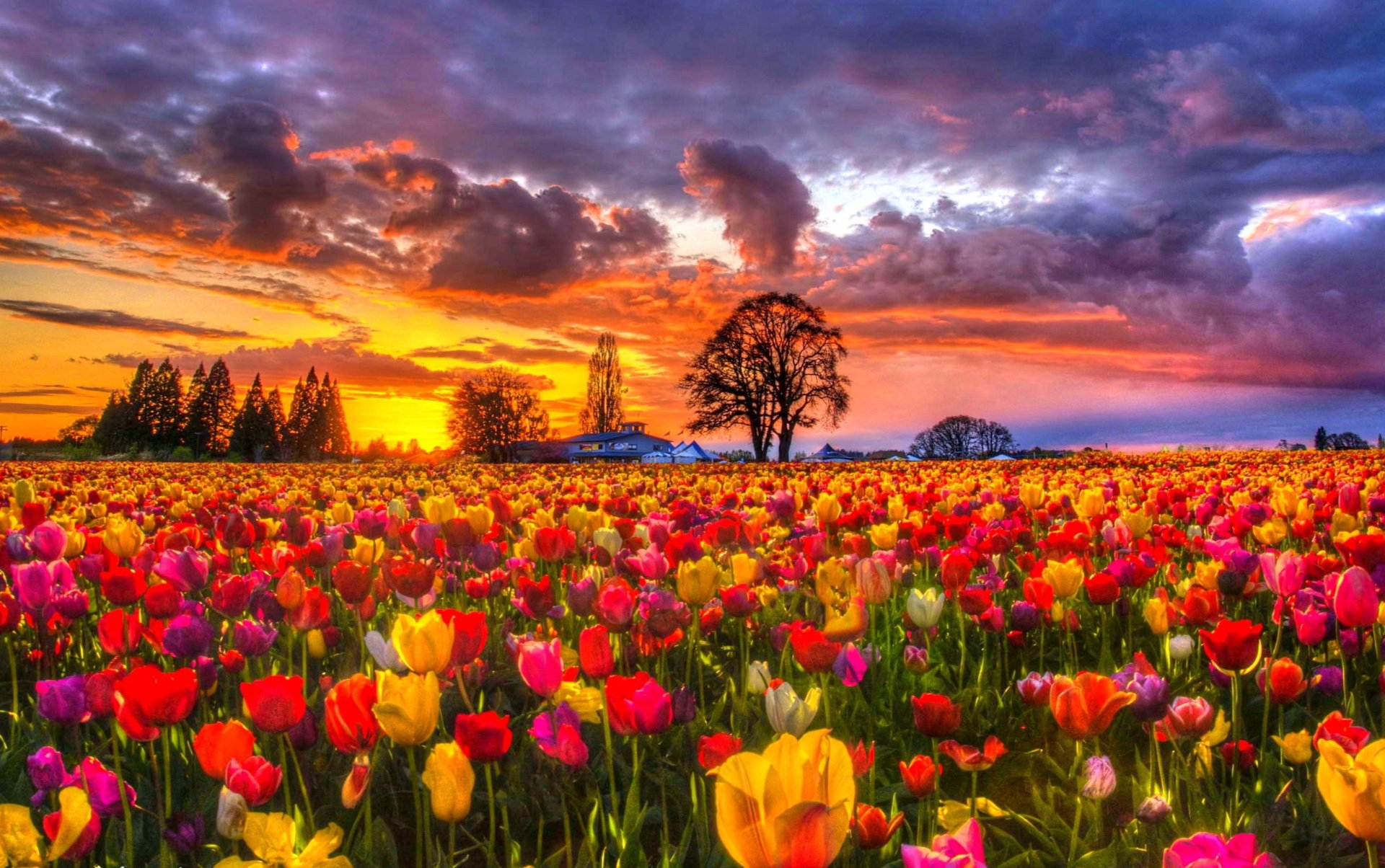 Spring Flowers Tulips Field Sunrise Grass Clouds