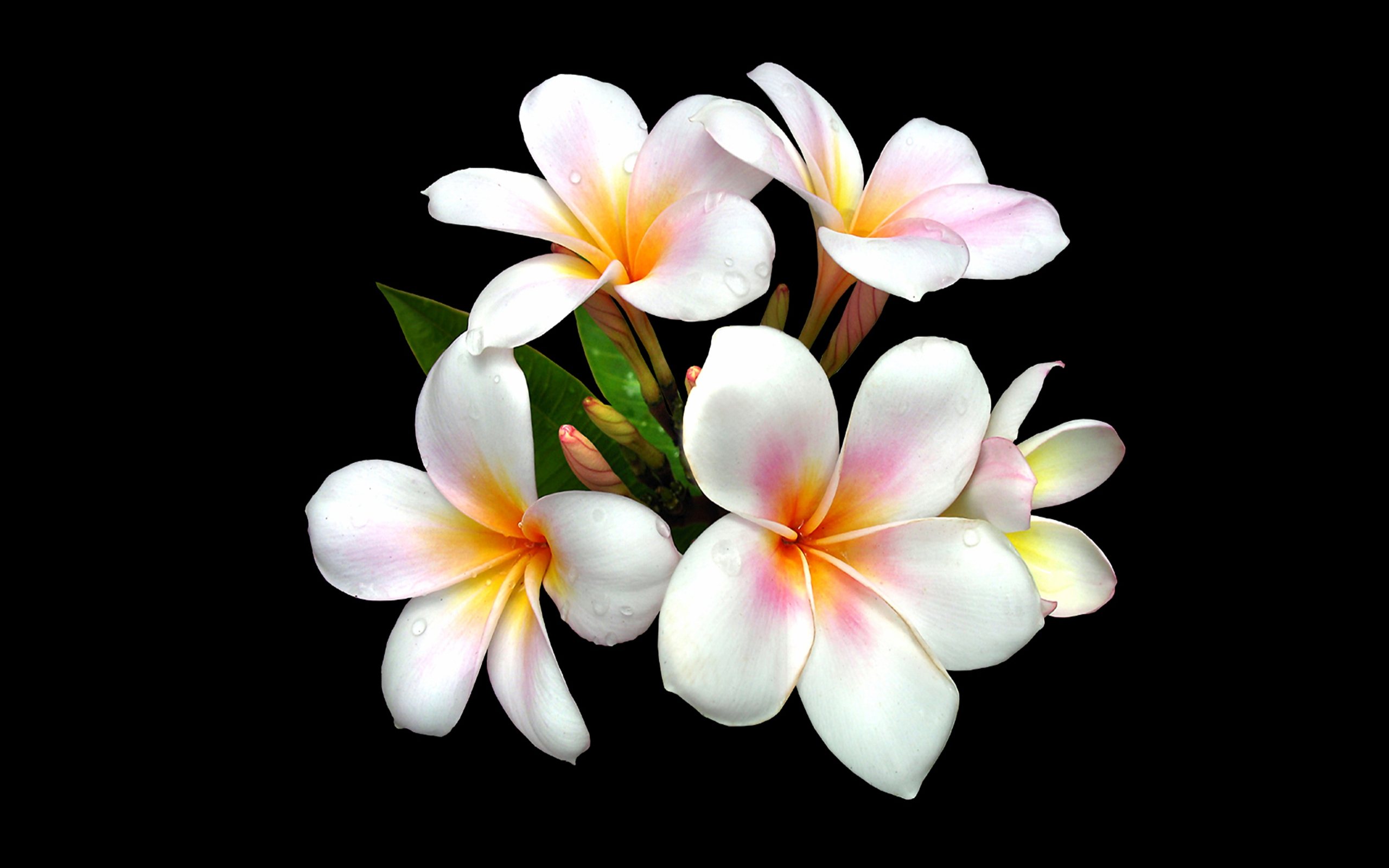 43 plumeria hd wallpapers background images wallpaper