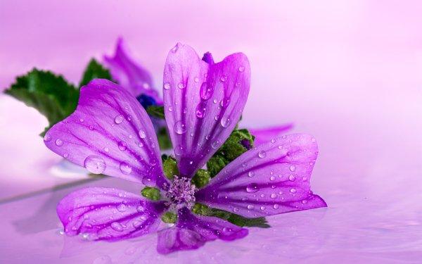 Earth Flower Flowers Anemone Japanese Anemone Purple Flower HD Wallpaper   Background Image