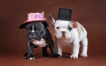 72 French Bulldog HD Wallpapers | Background Images ...