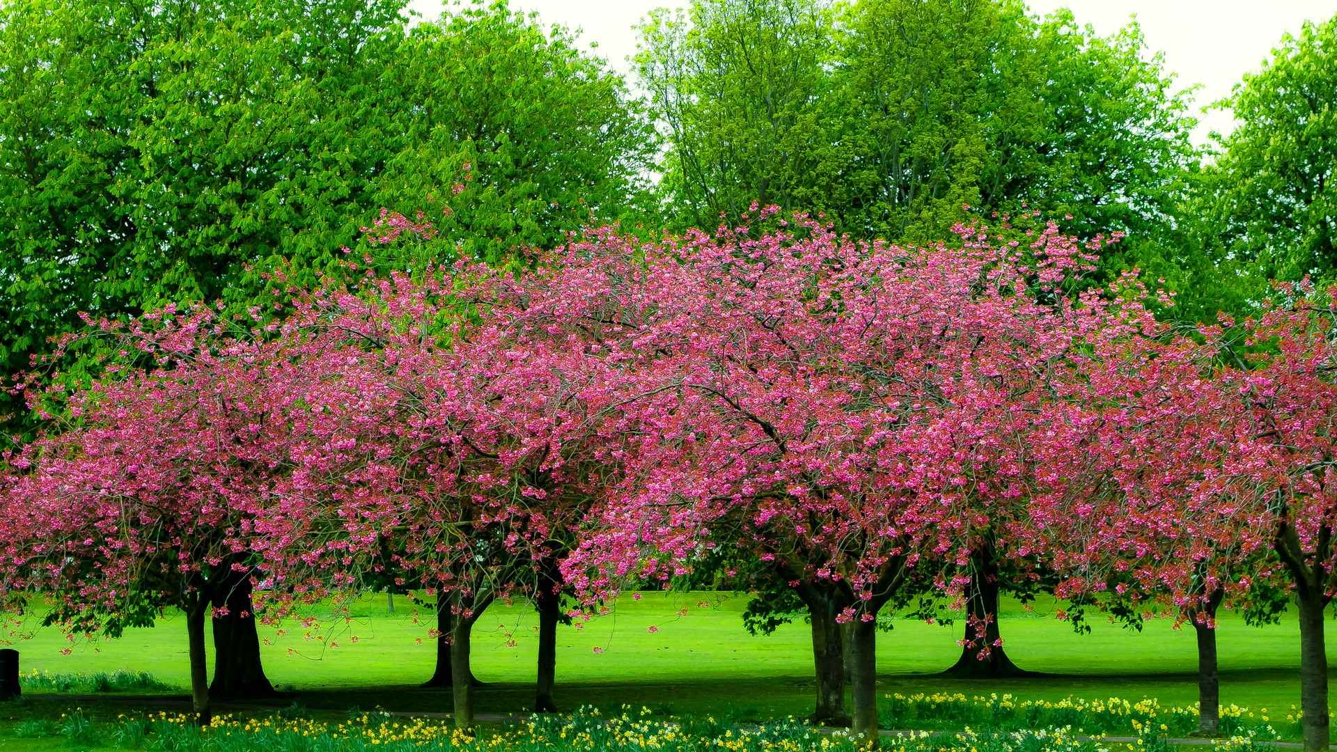 Pink Trees in Spring HD Wallpaper | Background Image ...