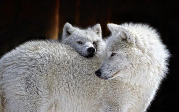 Animal Wolf White Wolf predator HD Wallpaper   Background Image