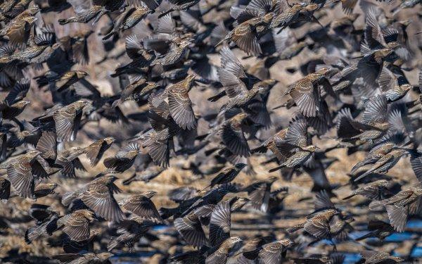 Animal Blackbird Birds Passerines Flock Of Birds Flight HD Wallpaper | Background Image
