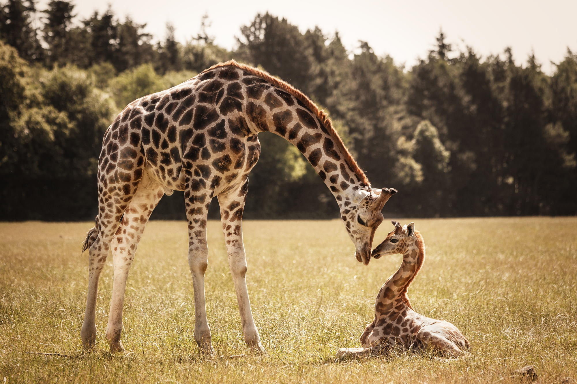 A Giraffe And Her Baby Full HD Wallpaper Background Image