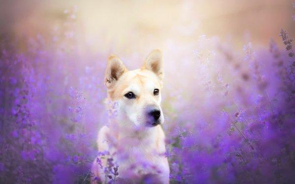 Animal Shiba Inu Dogs Dog Flower HD Wallpaper   Background Image