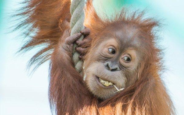 Animal Orangutan Monkeys Monkey Ape HD Wallpaper | Background Image