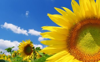 Earth - Sunflower Wallpapers and Backgrounds ID : 71850