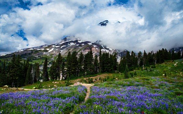 Earth Mount Rainier Mountains Mountain Nature Wildflower Flower Purple Flower Landscape HD Wallpaper | Background Image