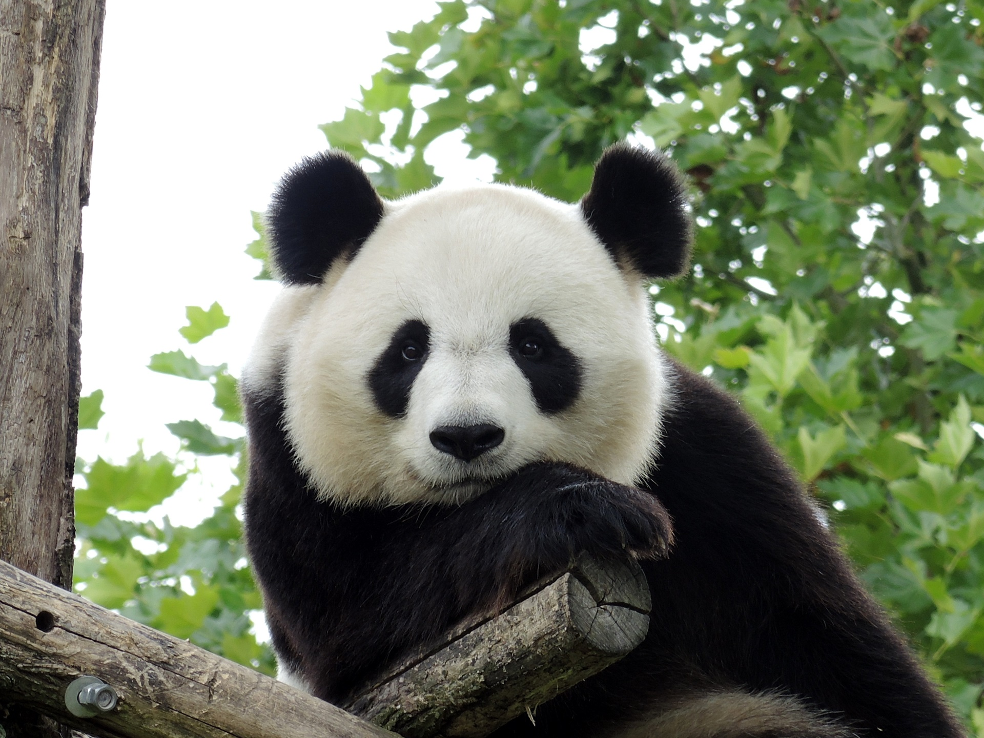 壁纸动物熊猫_大熊猫高清壁纸|桌面背景|1920x1440|ID:721500-WallpaperAbyss