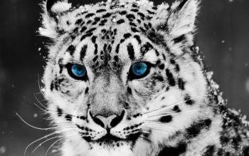 Animal - Leopard Wallpapers and Backgrounds ID : 72300