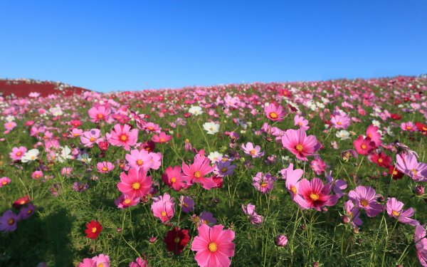 Earth Cosmos Flowers Flower Pink Flower Nature Meadow HD Wallpaper   Background Image