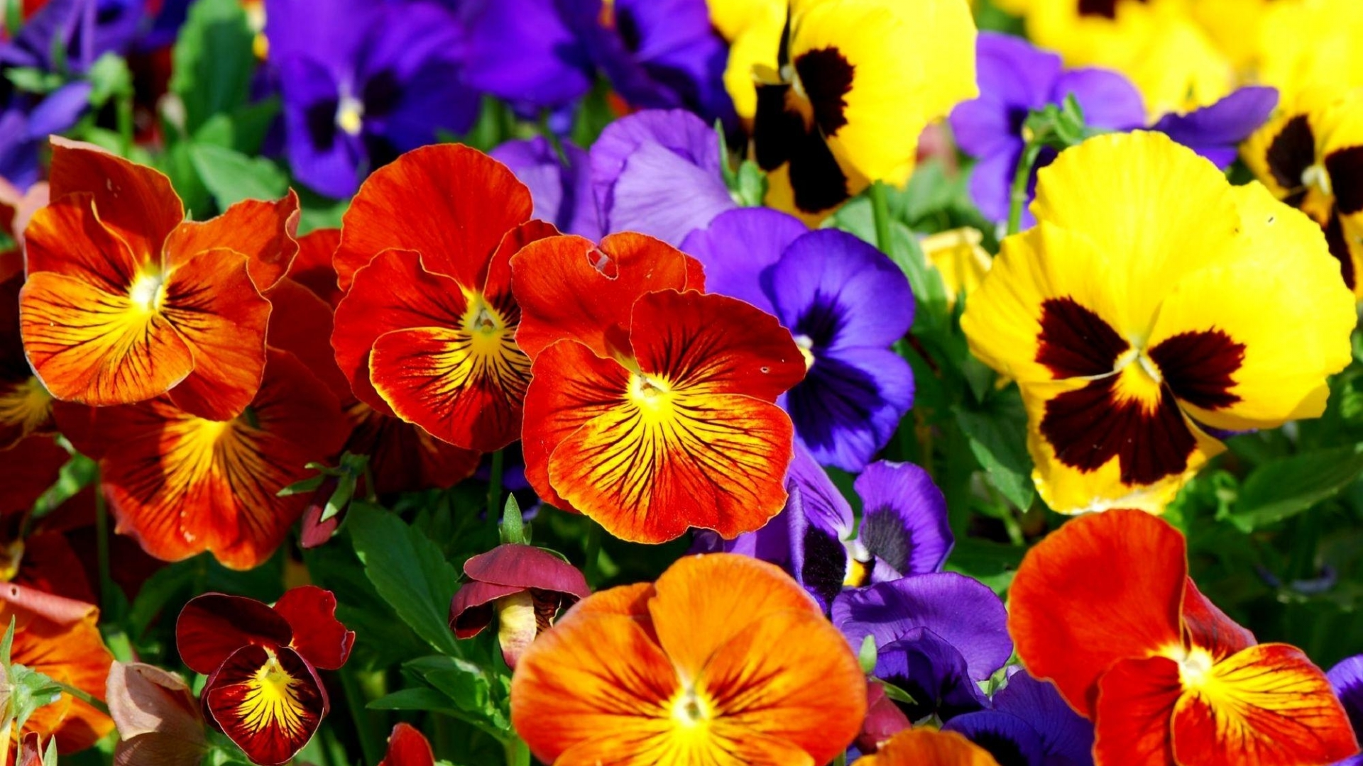 Colorful Pansies Full HD Wallpaper and Background Image | 1920x1080 ...