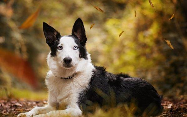 Animal Dog Dogs Bokeh Heterochromia HD Wallpaper   Background Image