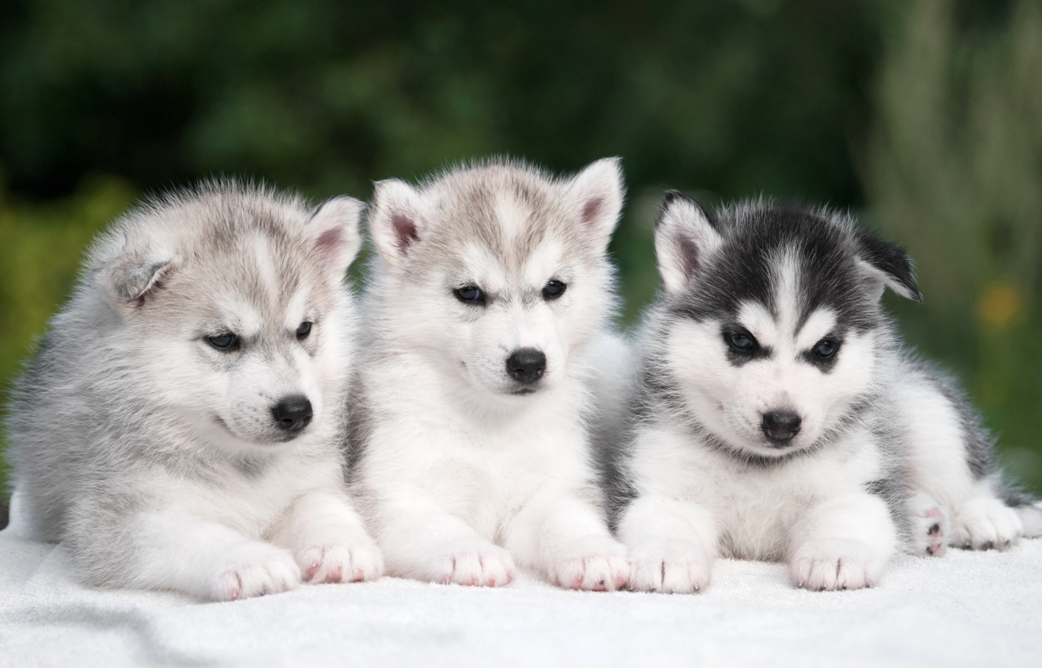 Perros Husky Siberiano Fondos De Pantalla Hd De Animales 2: Three Husky Puppies HD Wallpaper