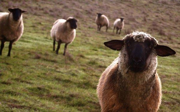 Animal Sheep Politics HD Wallpaper   Background Image