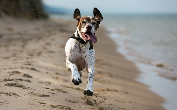 Animal German Shorthaired Pointer Dogs Dog Beach Sand HD Wallpaper | Background Image