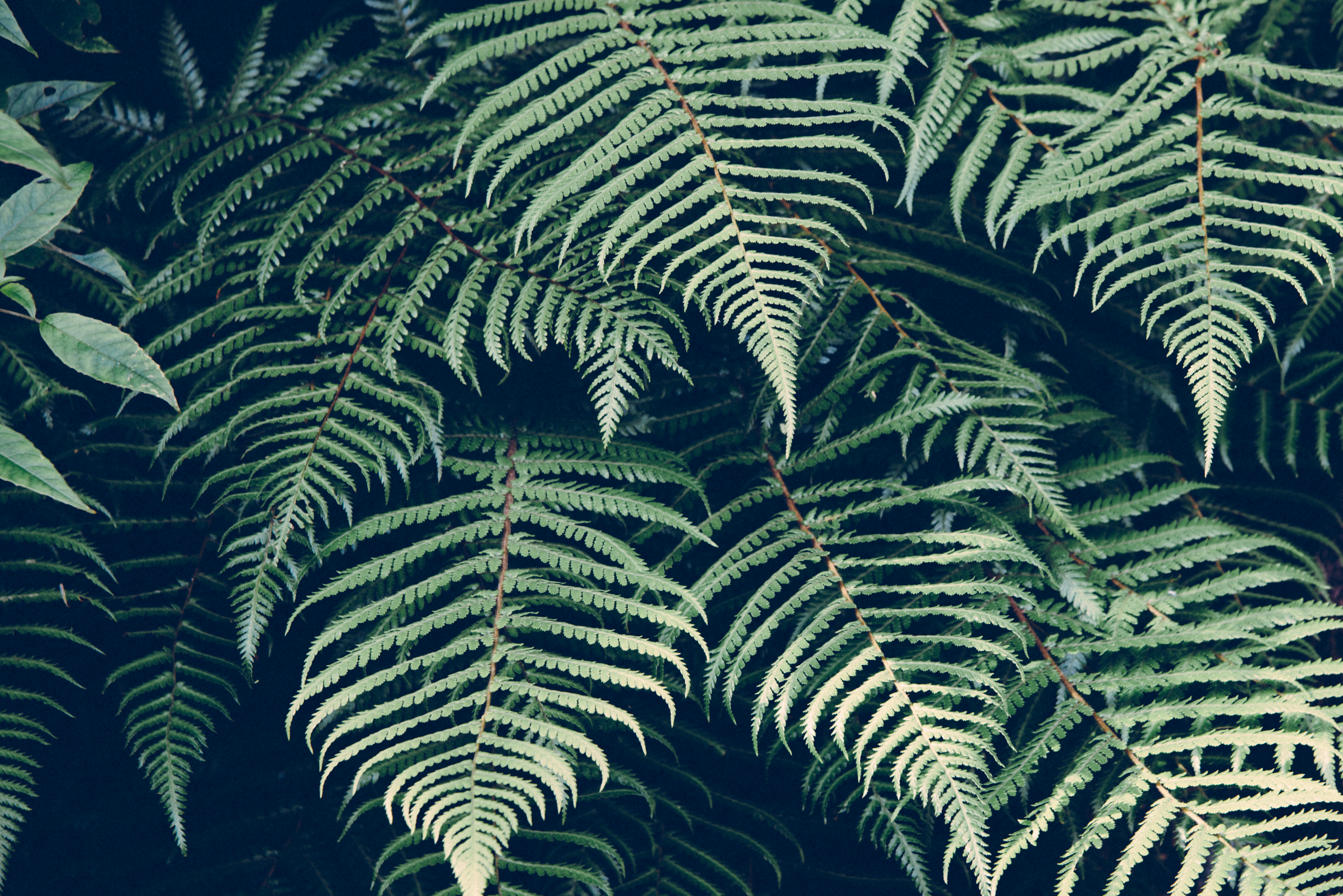 Fern 4k Ultra Hd Wallpaper Background Image 4875x3254