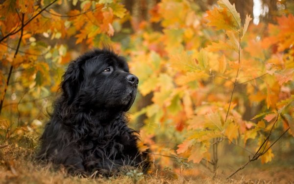 Animal Newfoundland Dogs Dog Leaf Muzzle Fall HD Wallpaper | Background Image