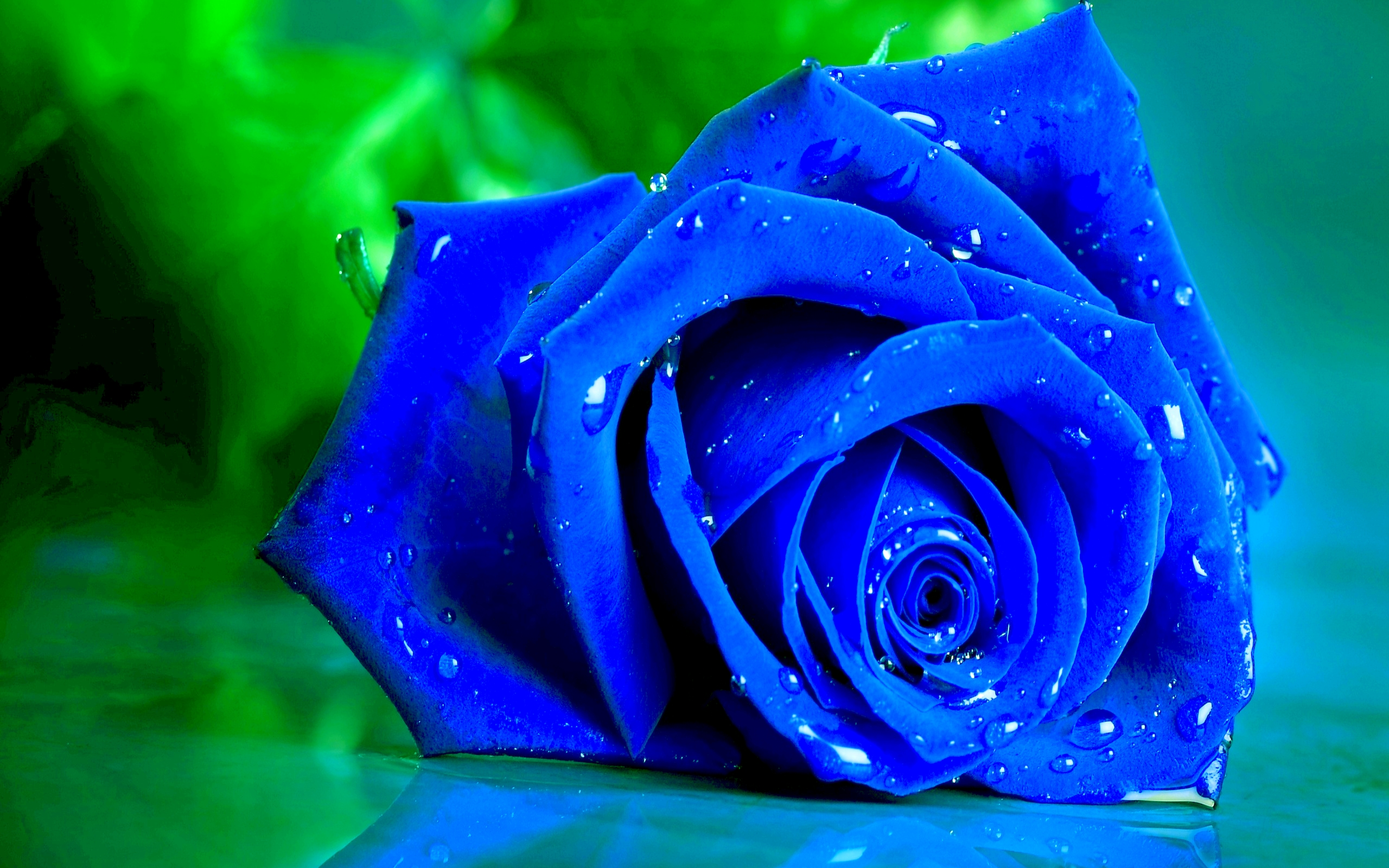 wet blue rose full hd wallpaper and background image | 2560x1600