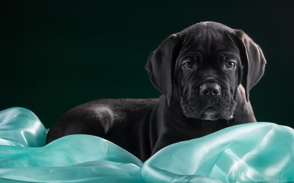 Animal Cane Corso Dogs Dog Puppy Baby Animal Muzzle Mastiff HD Wallpaper | Background Image